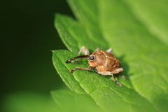 Large bee-fly Stock Photo