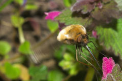 Large Bee Fly pollinate flower. Macro of Bombylius Major or Large Bee Fly pollinate flower stock photo