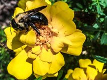 Large bee on a yellow flower in full focus. Eastern carpenter bee pollinating a yellow flower Royalty Free Stock Photo