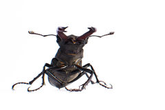 Large beetle close-up on a white background in full length Stock Images