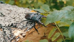 Large beetle Lucanus cervus creeps along the bark of tree.