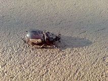 Large beetle on the sand Royalty Free Stock Image