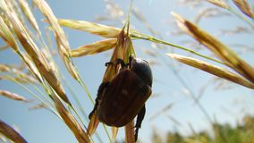 A Large Beetle Under Sun royalty free stock photography