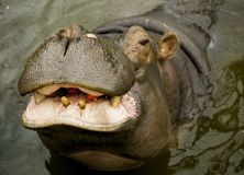 A large Behemoth. Hippopotamus with open mouth in water. A large Behemoth. Hippopotamus with open mouth in water Stock Photography
