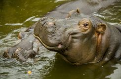 A large Behemoth. Hippopotamus with open mouth in water. A large Behemoth. Hippopotamus with open mouth in water Royalty Free Stock Image