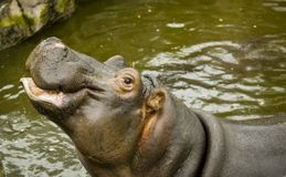 A large Behemoth. Hippopotamus with open mouth in water. A large Behemoth. Hippopotamus with open mouth in water Royalty Free Stock Photo
