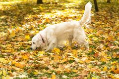 The large dog Labrador walk in an autumn park. The large beige dog Labrador retriever walk in an autumn park stock images