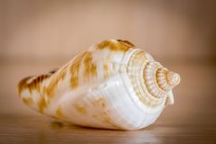 Large beige seashell. Close-up stock image