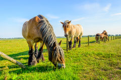 Large Belgian horse is eating grass at the other side Stock Photos