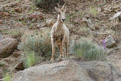A large big horn sheep standing on rocks Stock Image
