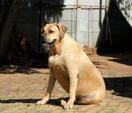 Large Big Mastiff Boerboel Dog Royalty Free Stock Image