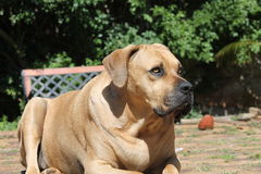 Large Big Mastiff Boerboel Dog Royalty Free Stock Photography