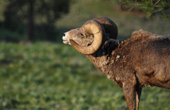 Large Bighorn Sheep Ram In Forest Stock Photos