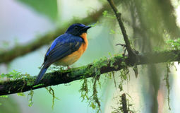 Large-billed Blue-flycatcher Royalty Free Stock Image
