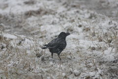 Large-billed Crow Royalty Free Stock Photos