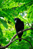 Large-billed crow Stock Photography