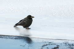 Large-Billed Crow Standing on Ice Royalty Free Stock Photography