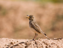 Large Billed Lark Royalty Free Stock Images