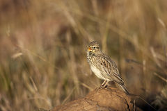 Large-billed Lark. A close-up of a Large-billed Lark, Mountain Zebra National Park Royalty Free Stock Photos