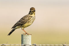 Large billed lark Royalty Free Stock Image