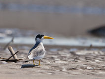 Large-billed Tern Royalty Free Stock Photos
