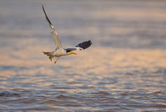 Free Large-billed Tern Royalty Free Stock Image - 26063236