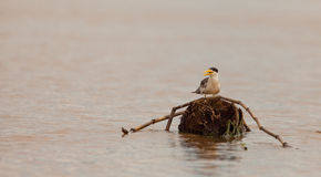 Large-billed Tern Stock Photography