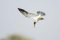 Large billed Tern diving Royalty Free Stock Photos