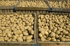 Large bins full of potatoes Royalty Free Stock Image