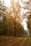 Large birch beside the road in the forest at fall. Large birdh with golden leaves beside the road in the forest at fall Stock Photos