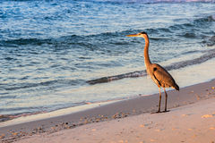 Large Bird on the Beach at Sunrise Royalty Free Stock Photo