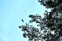 A large bird eagle in focus flies towards the blurred leaves of trees. The concept of freedom and wildlife. stock image