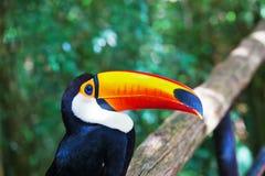Large bird with  huge yellow beak Royalty Free Stock Photography