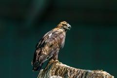 Large bird of prey Royalty Free Stock Photos