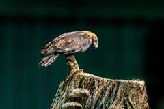 Large bird of prey Stock Photos