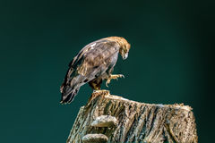 Large bird of prey Royalty Free Stock Images