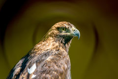 Large bird of prey Royalty Free Stock Photography