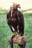 Large bird of prey with a leather cap on his head Stock Photo