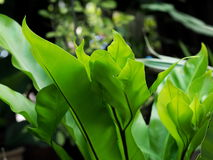 Large bird's nest fern leaves Stock Image