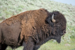 Large Bison Bull. This was a large bison bull that I found at Yellowstone National Park. It was standing in front of a grassy hill and the hill made for a nice Stock Image