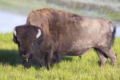 A large Bison in early morning light. Royalty Free Stock Images