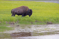 Large Bison grazes beside a lake in Yellowstone National Park. Stock Photo