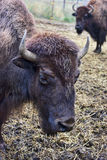 Large bison head. Stock Photography