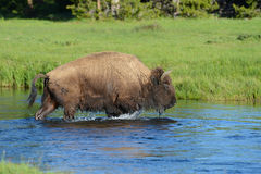 Large Bison just coming out of a cold stream. Royalty Free Stock Images