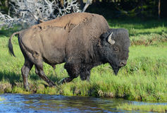 Large Bison just coming out of a cold stream. Stock Photography