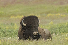 Large Bison in meadow. Royalty Free Stock Photo