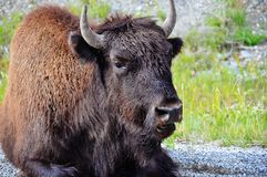 A large Bison sits on the side of a highway near the Yukon. A image of a large Bison sitting on the side of a highway near the Yukon stock photos