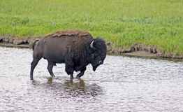 Large Bison wading through water. Royalty Free Stock Photos