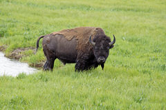 Large Bison wading through water. Stock Photo