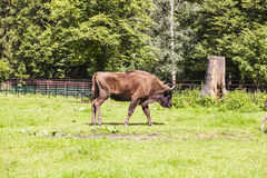 Large bison walk the Bialowieza National Park. Large bison walk in the Bialowieza National Park royalty free stock image